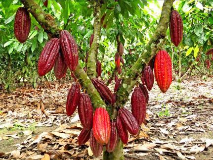 arbol_cacao