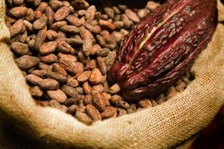 cosecha_cacao_